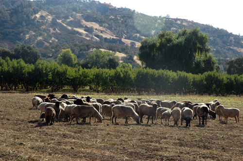 Sheep_in_field_1